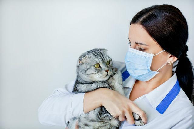 У шотландской вислоухой кошки слезятся глаза - помощь ветеринара