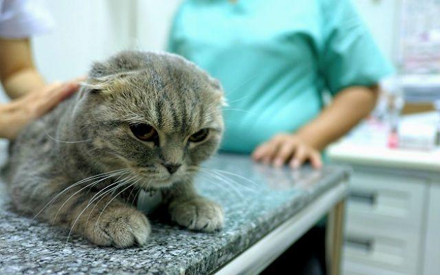 У шотландской вислоухой кошки слезятся глаза - болезни роговицы