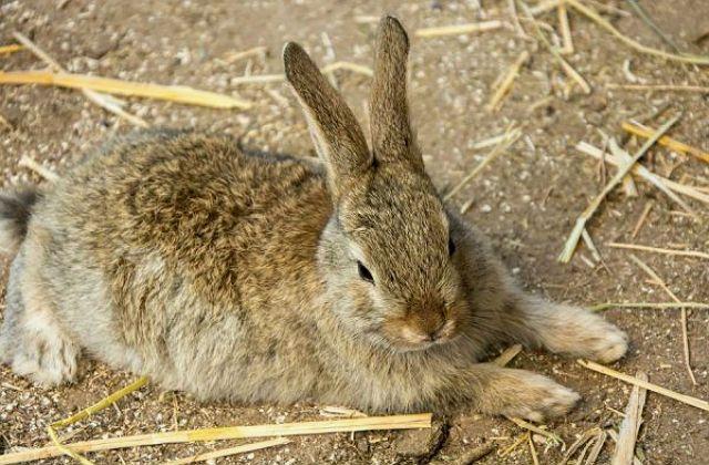 ВГБК у кролика - симптомы