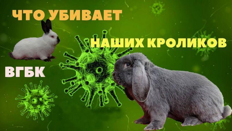 Вирус ВГБК у кролика