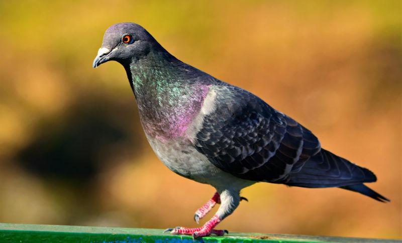 Все о голубе - главное фото