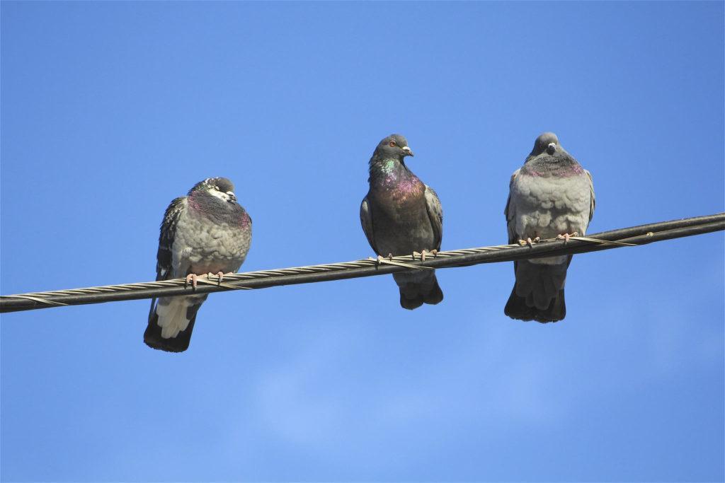 Все о голубе - характер и поведение