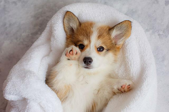 Собака корги - щенок