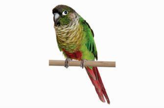 Зеленощекий попугай пиррура - главное фото