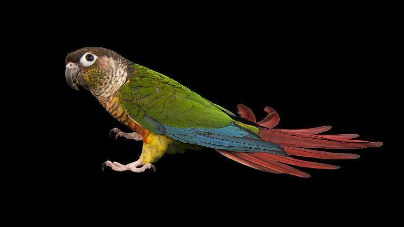 Зеленощекий попугай пиррура - внешний вид