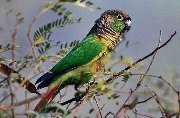 Зеленощекий попугай пиррура (2)