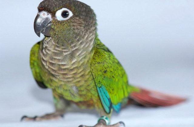 Зеленощекий попугай пиррура (3)