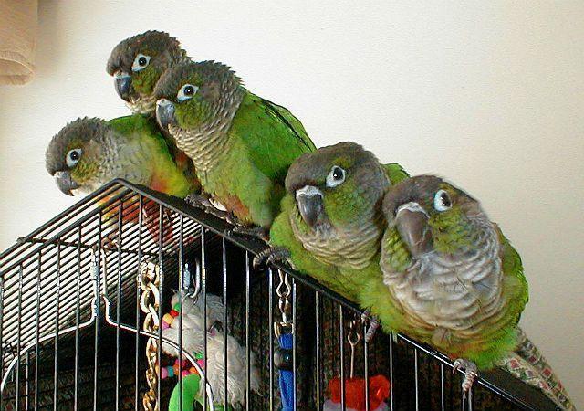 Зеленощекий попугай пиррура - содержание