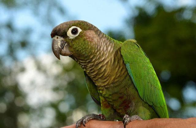 Зеленощекий попугай пиррура (5)