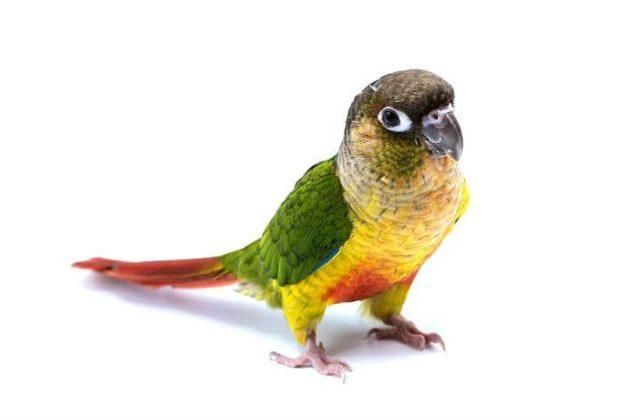Зеленощекий попугай пиррура (6)