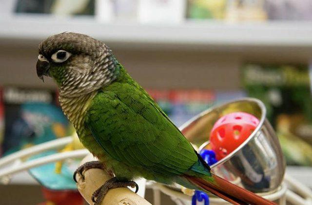 Зеленощекий попугай пиррура (7)
