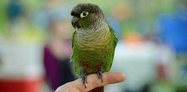 Зеленощекий попугай пиррура - как выбрать