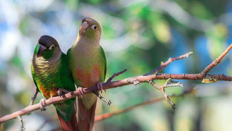 Зеленощекий попугай пиррура - образ жизни