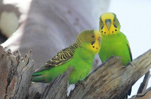 Зеленые волнистые попугайчики (1)
