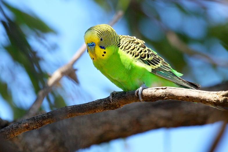 Зеленый волнистый попугайчик (2)