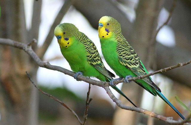 Зеленые волнистые попугайчики (3)