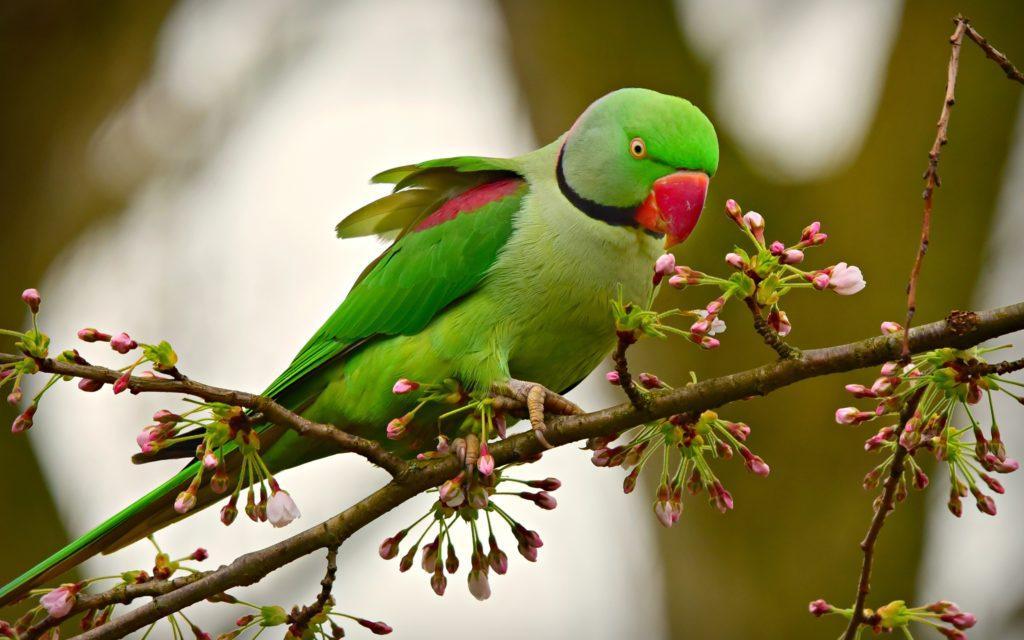 Александрийский попугай - главное фото