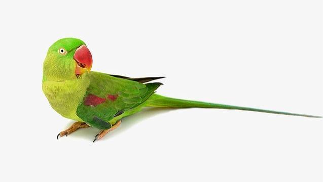 Александрийский попугай - уход и содержание