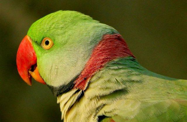 Александрийский попугай (11)