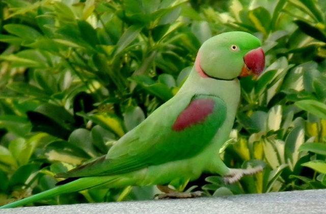 Александрийский попугай (5)