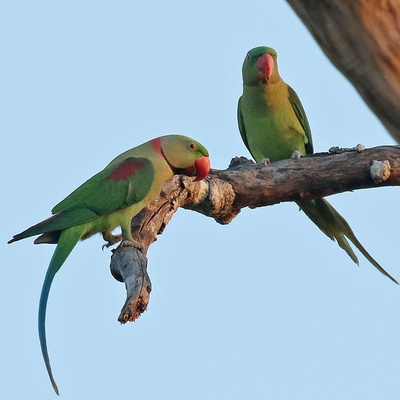 Александрийский попугай - внешний вид