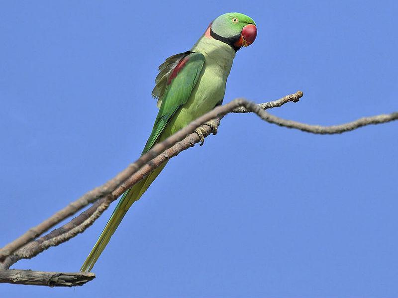 Александрийский попугай на ветке