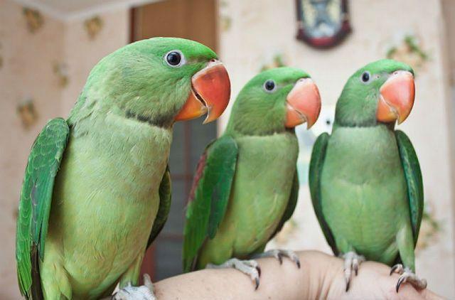 Александрийский попугай - воспитание и обучение