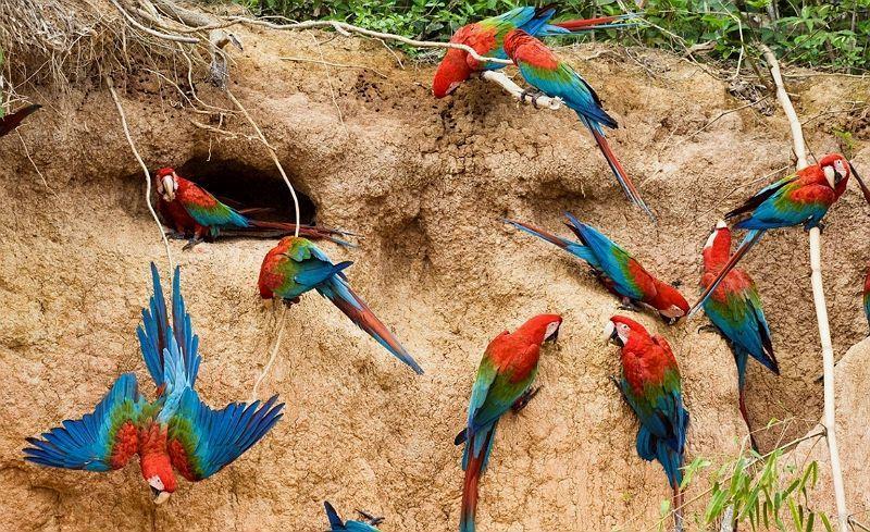 Ара попугай - характер и поведение