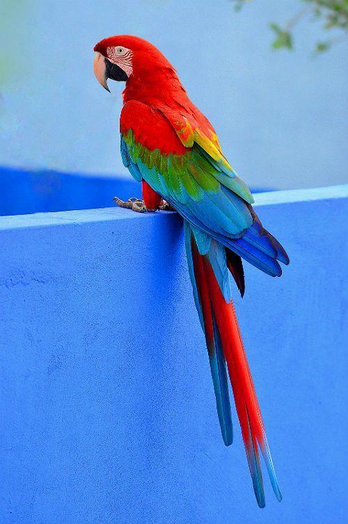 Попугай ара - содержание