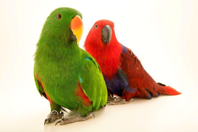 Благородный попугай эклектус - главное фото