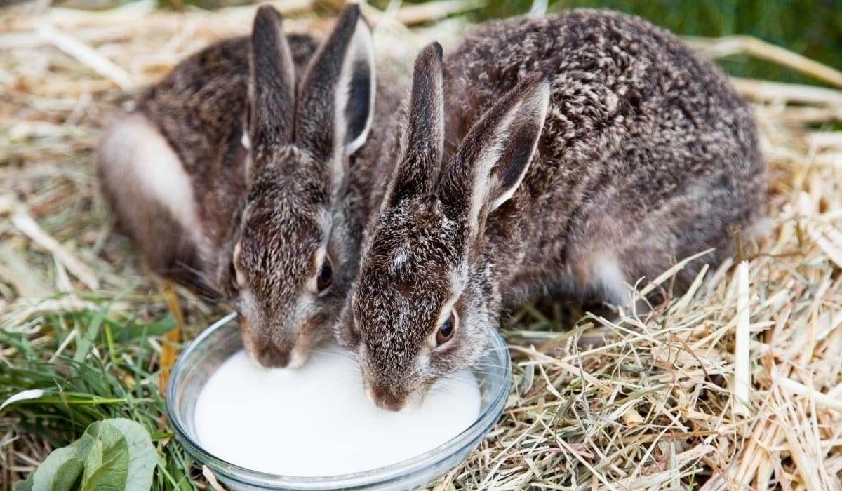 Молоко для кроликов