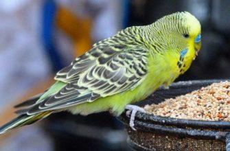 Чем кормить попугаев - главное фото
