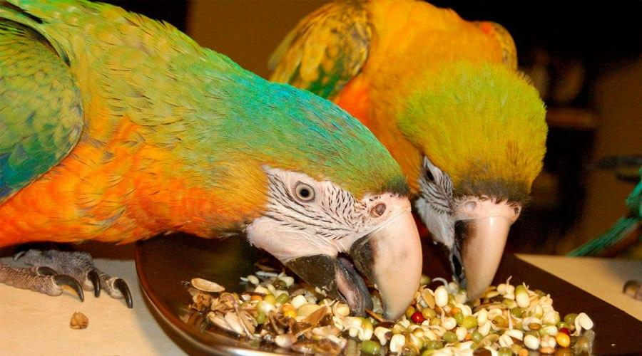 Чем кормить крупных попугаев