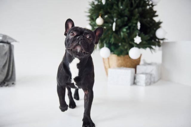 Cute black dog indoors near new year green tree with gift boxes