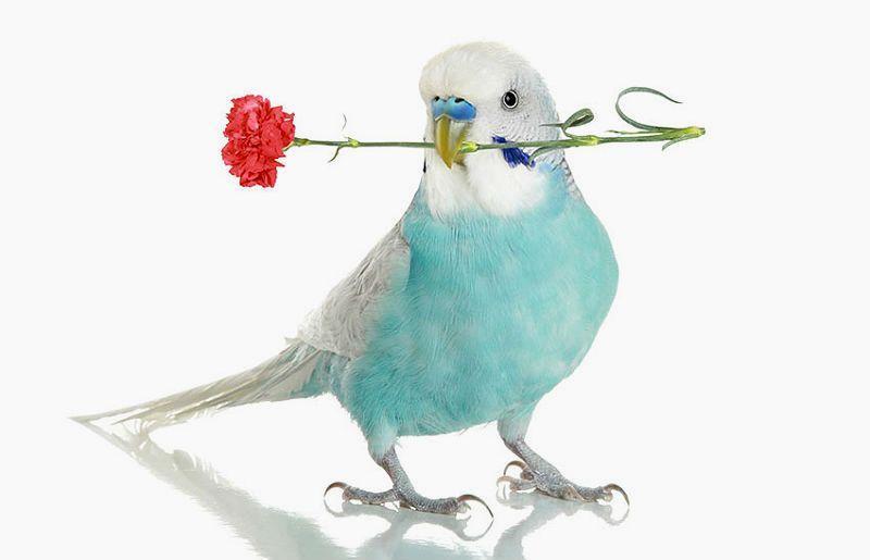 Дрессировка волнистого попугая - главное фото
