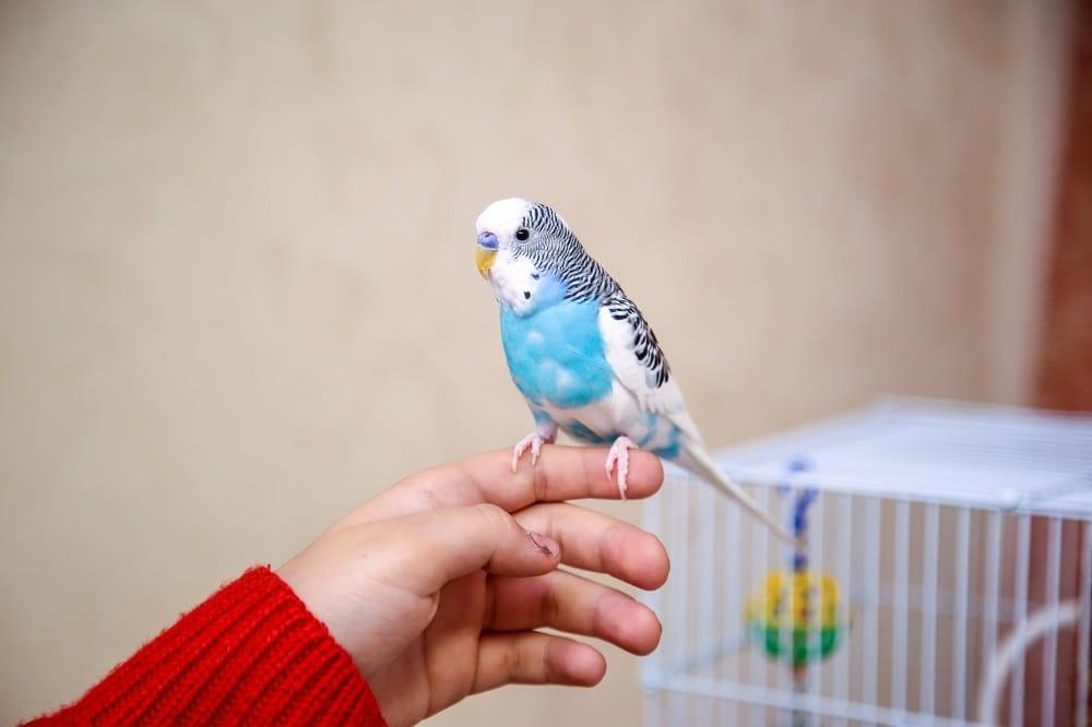 Дрессировка волнистого попугая - команда иди сюда