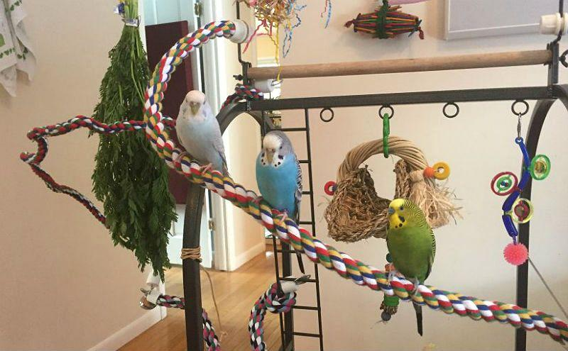 Обучение волнистого попугая трюкам