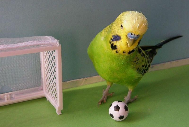 Дрессировка волнистого попугая - команда принеси