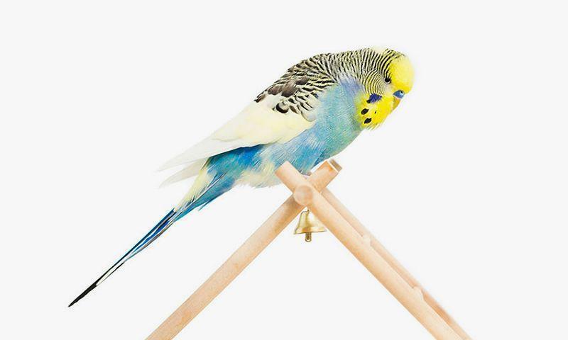 Дрессировка волнистого попугая - команда нет