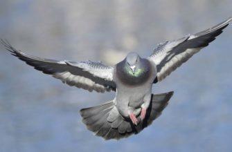 Как быстро летает голубь