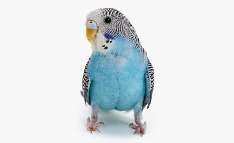 Как видят волнистые попугаи