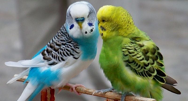 Интересные факты о волнистых попугаях
