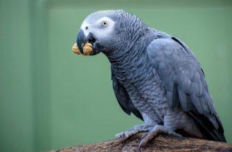 Какие семена и орехи можно давать попугаям