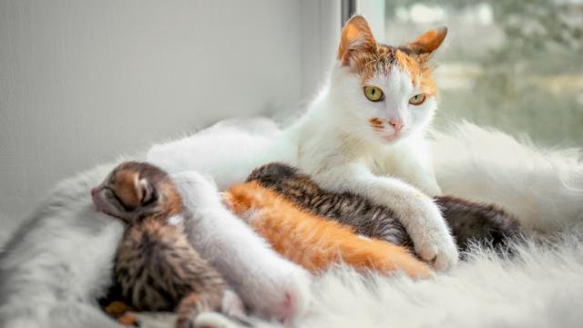 Калькулятор беременности и родов кошки