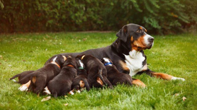 Калькулятор беременности собаки - главное фото