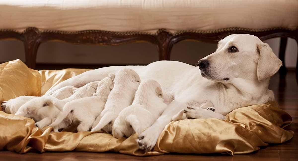 Калькулятор беременности собаки