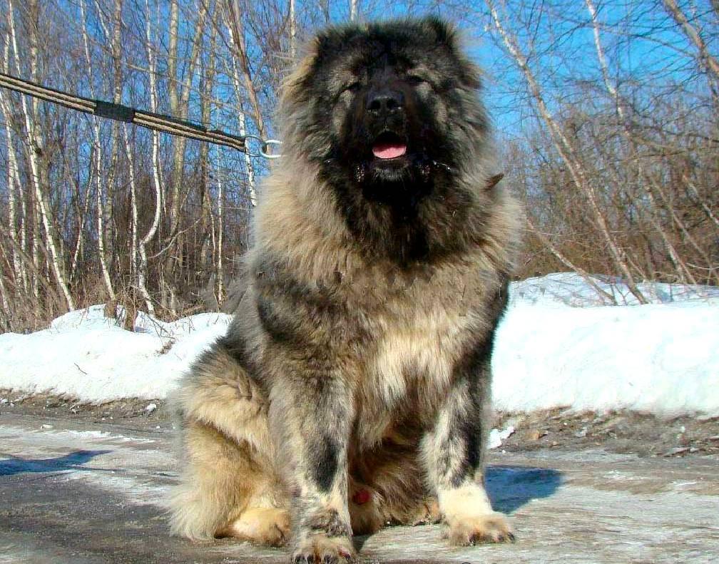 Кавказская овчарка воспитание охранных качества