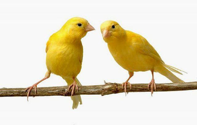 Клички для птиц канареек