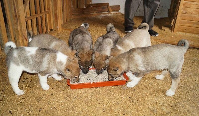 Натуральное кормление щенков лайки