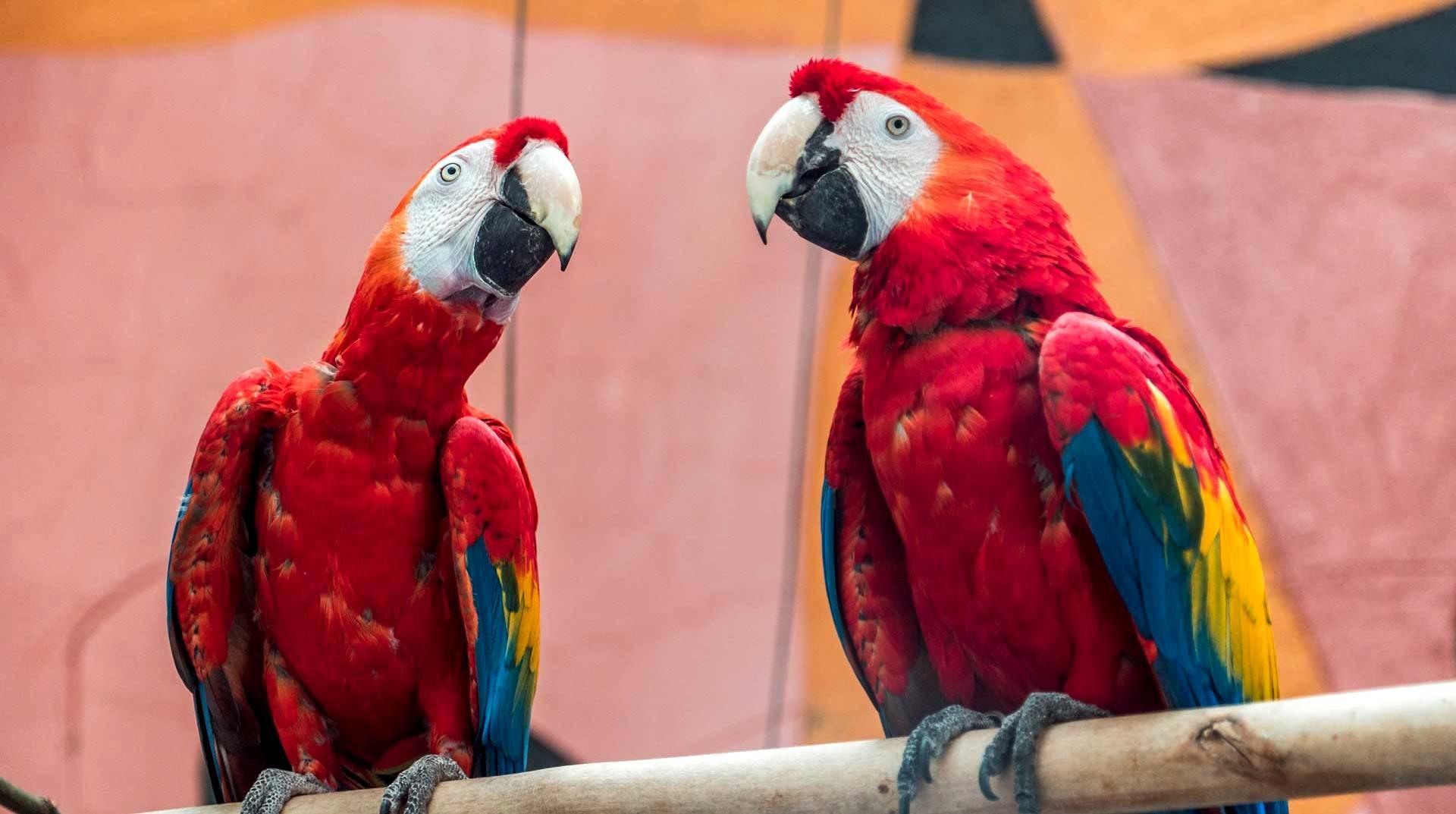 Красные попугая ара